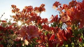 Pink Azalea flowers Rhododendron in the garden stock video footage