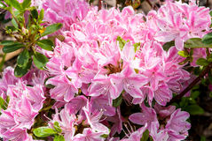 Pink Azalea. Flowers in the small grarden Stock Images