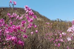 Pink azalea flowers in spring on blue sky background. Pink azalea flowers in spring on pink background in the morning on blue sky background on the mountain royalty free stock photos