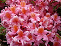 Close up Pink Azalea Flowers. Close up of pink Azalea flowers in full bloom, with fronds, stamens and green leaves Stock Photo