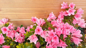 Pink azalea flowers. On a wooden background Royalty Free Stock Photos