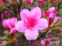 Pink azalea. Fresh blossom of pink azalea after rain Stock Image