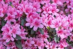 Pink azalea in the garden. Blooming pink azalea in the garden stock photo