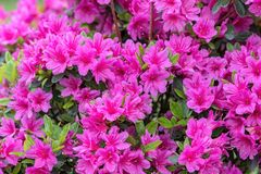Pink azalea in the garden. A pink azalea in the garden royalty free stock image