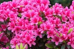 Pink azalea in the garden. A pink azalea in the garden royalty free stock photography