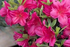 Pink azalea in the garden. A pink azalea in the garden royalty free stock photo