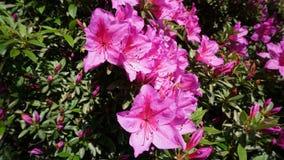 Pink azalea in the garden. Beautiful pink azalea in the garden stock photos
