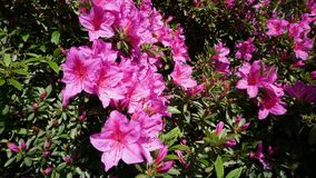 Pink azalea in the garden. Beautiful pink azalea in the garden royalty free stock photos