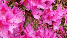 Pink azalea in a garden. Spring flowers royalty free stock images