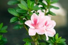 Pink Azalea in Green Bush Royalty Free Stock Image