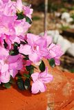 Pink Azalea Kirin with Background Bricks Royalty Free Stock Photography
