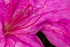 Pink Azalea pistils extreme close up photo - Macro photo pistils of Rhododendron simsii. Photo of Pink Azalea pistils extreme close up photo - Macro photo Stock Images