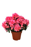 Pink azalea in a pot on white background Royalty Free Stock Images