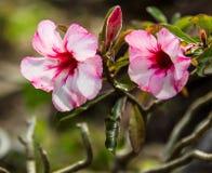 Pink azalea pots Royalty Free Stock Photos