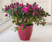 Pink azalea in a red  pot Royalty Free Stock Photo
