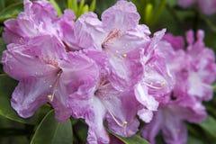 Pink azalea. Rhododendron bush in garden. Beautiful flowers. Details of spring plants royalty free stock photo