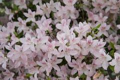 Pink azalea. Rhododendron bush in garden. Beautiful flowers. Fresh flowers background or wallpaper stock photo