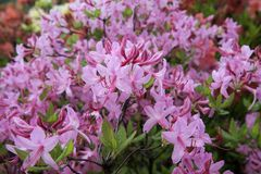 Pink azalea. Rhododendron bush in garden. Beautiful flowers. Beautiful spring flowers royalty free stock photo