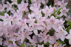 Pink azalea. Rhododendron bush in garden. Beautiful flowers. Beautiful spring flowers stock images