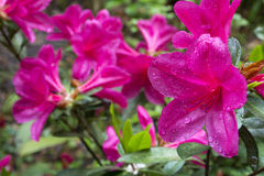 Pink azalea in right side Stock Images