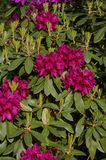 Pink azalea shrub Stock Image