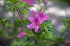Pink Azalea. Spring Pink Azalea Bloom Royalty Free Stock Image