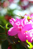 Pink azalea in the sunlight royalty free stock image