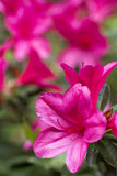 Pink azalea in vertical composition Stock Images