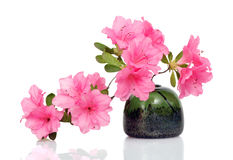 Pink Azalea on White Royalty Free Stock Image