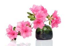 Pink Azalea on White Royalty Free Stock Image