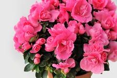 Pink azalea on white background close-up isolated Royalty Free Stock Image