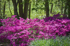 Pink Azaleas. Vibrant pink azaleas in the woods are part of the landscape at The Bayard Cutting Arboretum on Long Island Royalty Free Stock Images