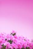 Pink Azaleas Background Stock Image