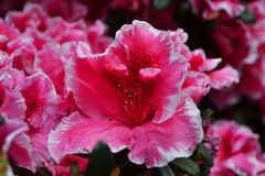 Pink Azaleas, beautiful but highly toxic stock image