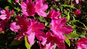 Pink Azaleas in Bloom royalty free stock photo