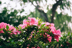 Pink azaleas bush close up macro. Azaleas in bloom against lush foliage bokeh, Pink blooming azaleas bush background Stock Photos