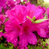 Pink Azaleas Royalty Free Stock Photos