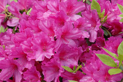 Pink Azaleas Stock Photos