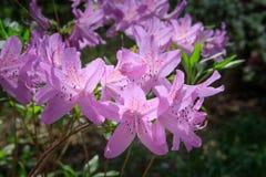 Pink Azaleas Royalty Free Stock Image