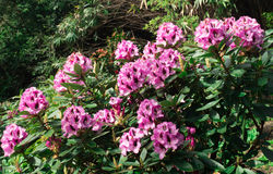 Pink azaleas flowers on a bush. Royalty Free Stock Photography