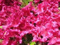 Pink Azaleas in full Bloom royalty free stock photography