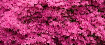 Pink Azaleas Panorama Royalty Free Stock Image