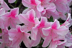 Pink Azaleas. A photograph of bright pink azalea blossoms Stock Photos