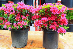 Pink Azaleas. Two Potted Azaleas on Sales in Spring stock image