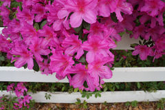 Pink Azaleas on white fence Royalty Free Stock Images