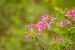 Pink Azelea flowers for border Stock Photo