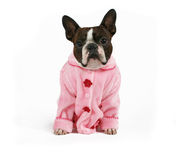 Pink baby. A boston terrier dressed in a pink coat Stock Photography