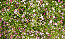 Pink baby's breath flower for background Stock Images