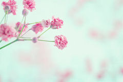 Pink baby's breath flowers closeup Stock Photography