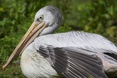 Pink Backed Pelican Stock Image
